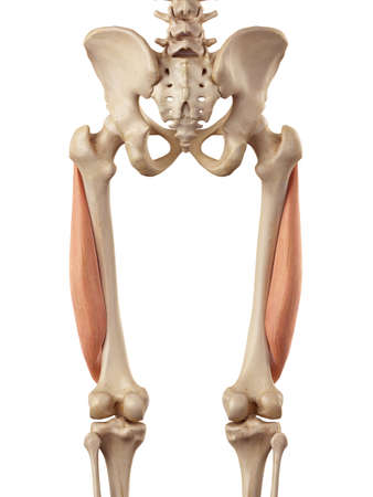 medical accurate illustration of the vastus lateralis Stock Photo