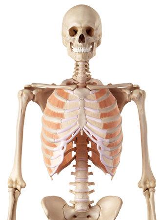 外肋間筋の正確な医療のイラスト 写真素材 - 42219773