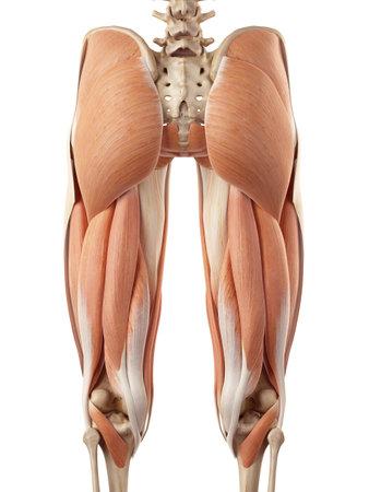medische nauwkeurige illustratie van de bovenbeenspieren Stockfoto
