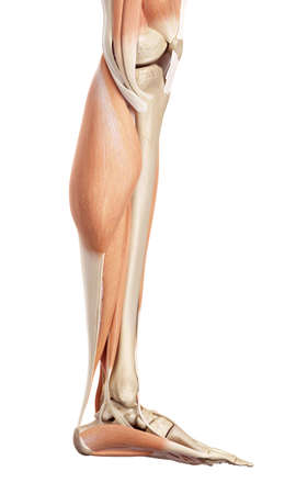 medical accurate illustration of the lower leg muscles Фото со стока - 42219788