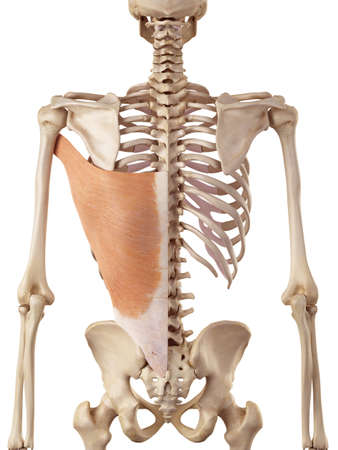 medical accurate illustration of the latissimus dorsi