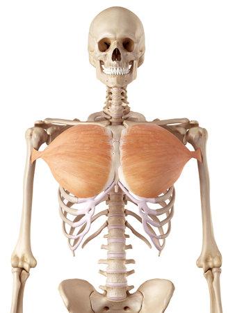 pectoralis 전공의 의료 정확한 그림