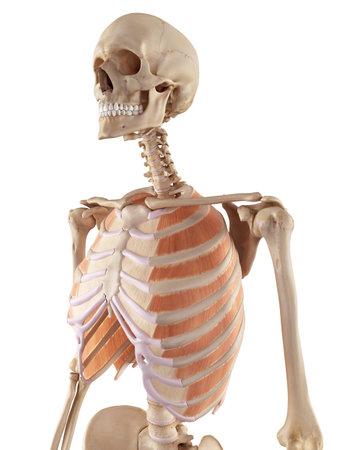 外肋間筋の正確な医療のイラスト