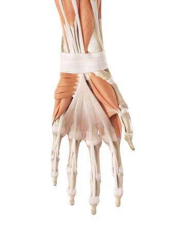 medical accurate illustration of the hand muscles