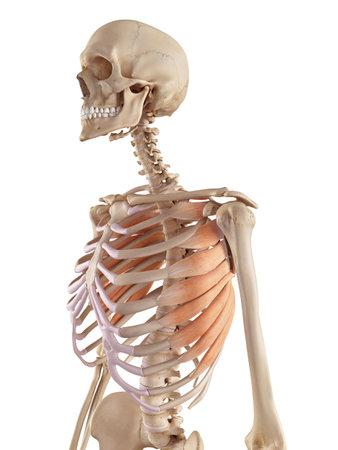 medische nauwkeurige illustratie van de serratus anterior