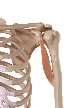 medical accurate illustration of the coracobrachialis