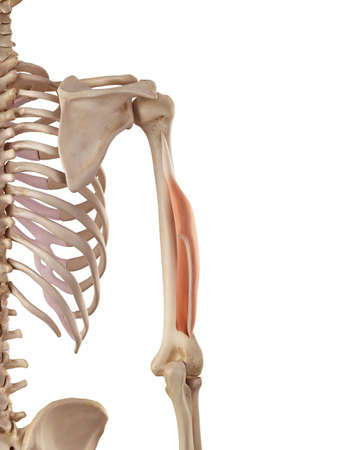 medical accurate illustration of the triceps lateral head