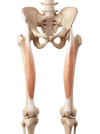 大腿直筋の正確な医療のイラスト 写真素材 - 42220058