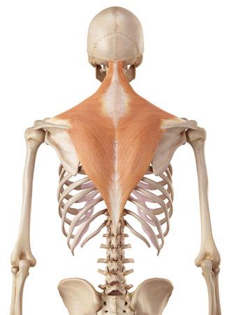 medische nauwkeurige illustratie van de trapezius Stockfoto