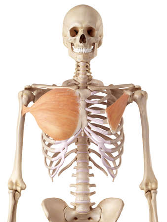 medical accurate illustration of the breast muscles Stock Photo