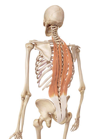 medical accurate illustration of the deep back muscles