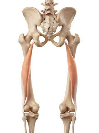 medical accurate illustration of the biceps femoris longus 写真素材