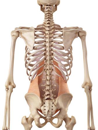 transversus의 abdominis의 의료 정확한 그림