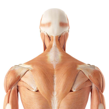 Medical Accurate Illustration Of The Upper Back Muscles Stock Photo ...