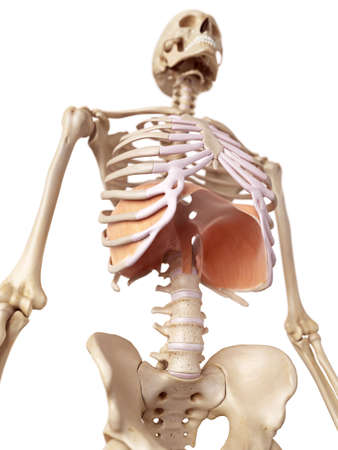 medical accurate illustration of the diaphragm Stock Photo