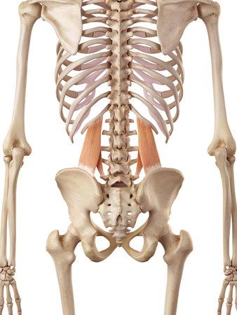 medical accurate illustration of the quadratus lumborum