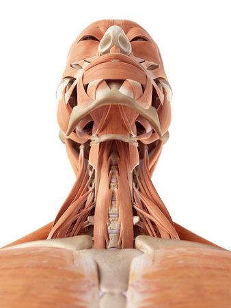 illustration médicale précise des muscles du cou
