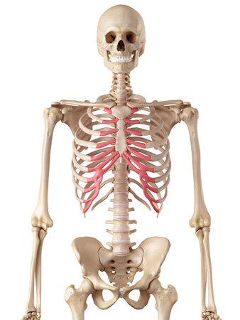 胸骨の軟骨の医療の正確なイラスト 写真素材 - 42458686