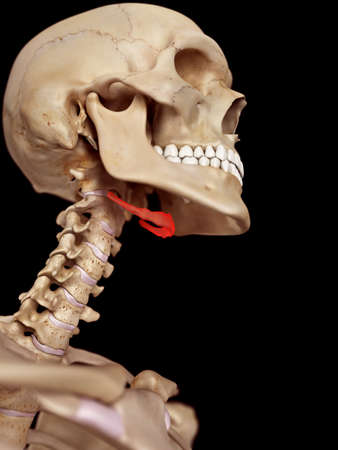 medical accurate illustration of the hyoid bone 写真素材