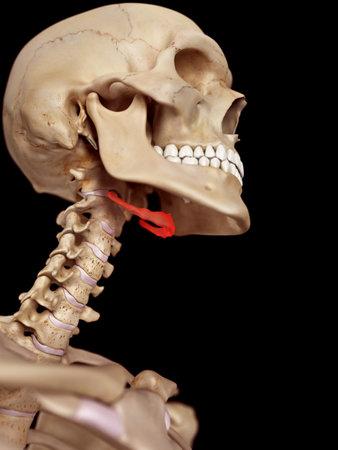 medical accurate illustration of the hyoid bone Archivio Fotografico