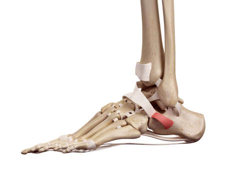Medical Accurate Illustration Of The Foot Ligaments Stock Photo