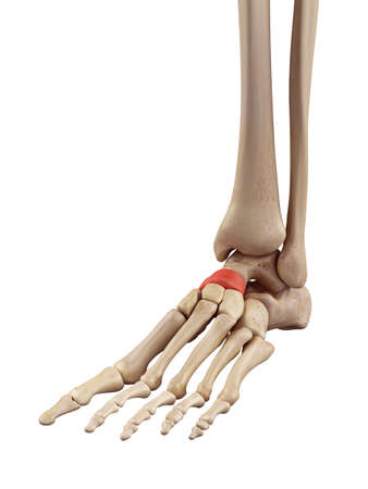 medical accurate illustration of the intermediate navicular bone Stock Photo