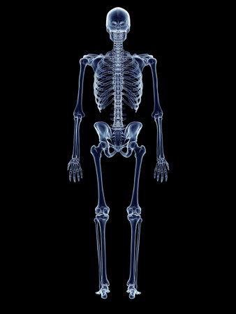 Genaue medizinische Illustration des menschlichen Skeletts Standard-Bild - 42459113