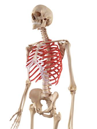 胸郭の正確な医療のイラスト 写真素材
