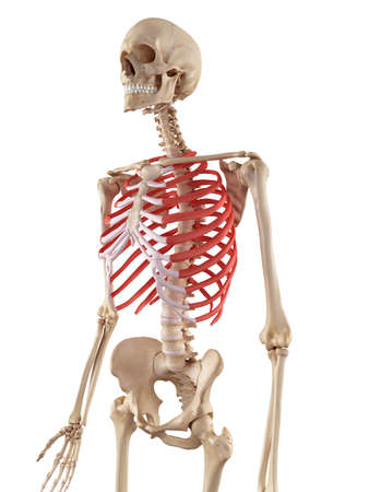 medical accurate illustration of the rib cage