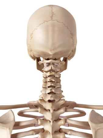 medische nauwkeurige illustratie van de menselijke schedel en de nek