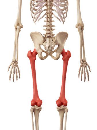 medical accurate illustration of the femur bone Stock Illustration - 42459077