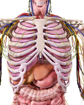 Medically Accurate Illustration Of The Abdominal Anatomy Stock Photo