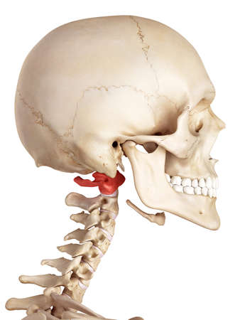 medical accurate illustration of the atlas bone