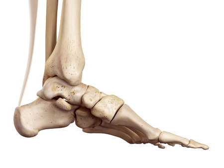 medical accurate illustration of the achilles tendon