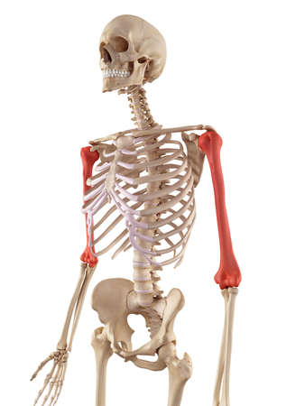 Medical Accurate Illustration Of The Humerus Bone Stock Photo ...