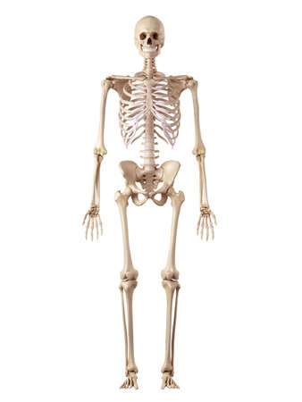 medical accurate illustration of the human skeleton 스톡 콘텐츠