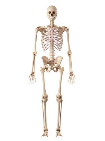 medical accurate illustration of the human skeleton Archivio Fotografico