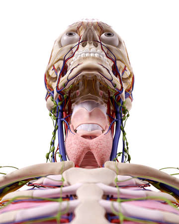 medical accurate illustration of the throat anatomy