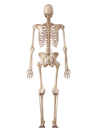 medical accurate illustration of the human skeleton and ligaments