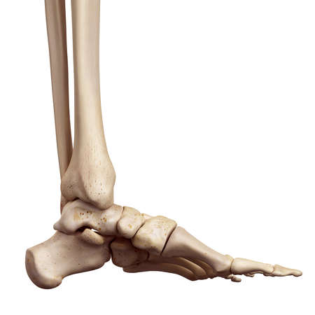 medical accurate illustration of the foot bones Stockfoto