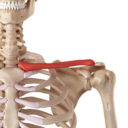 鎖骨の医療の正確なイラスト