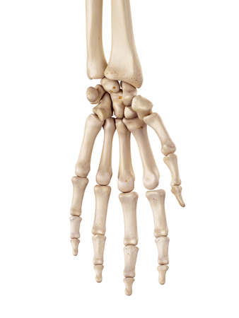 medical accurate illustration of the hand bones