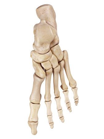 medical accurate illustration of the foot bones 写真素材