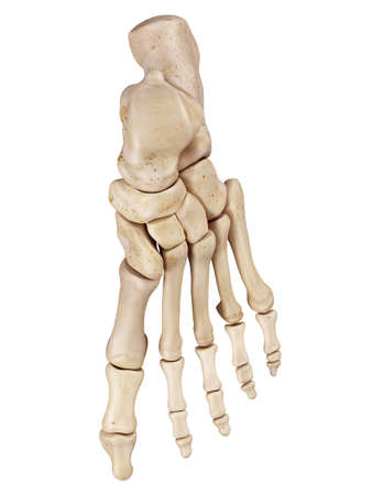 medical accurate illustration of the foot bones Stock Photo