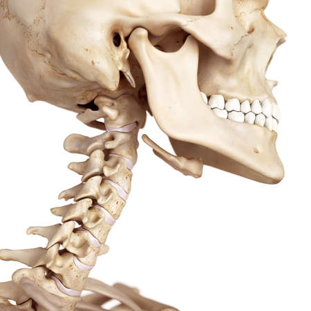medical accurate illustration of the skull and neck Reklamní fotografie