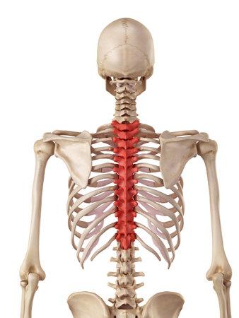 medische nauwkeurige illustratie van de thoracale wervelkolom