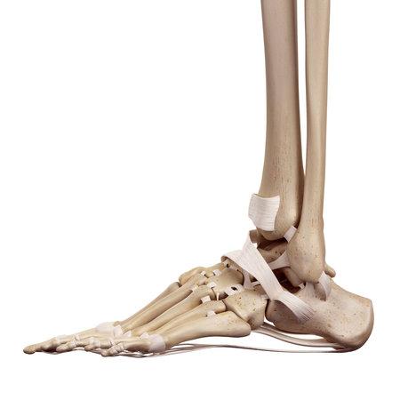 ilustración médica precisa de los ligamentos del pie