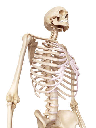 medical accurate illustration of the human skeleton Stock Photo