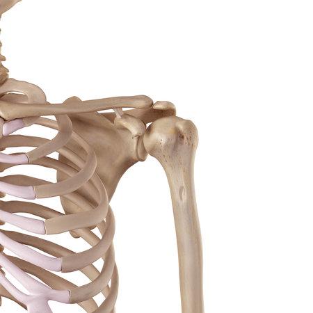 Illustration médicale précise du ligament conoïde Banque d'images - 42458834