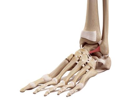 medische nauwkeurige illustratie van het voorste ligament fibulotalare